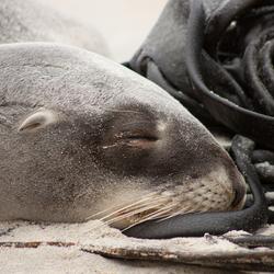 Slapende jonge zeeleeuw, zo gaaf