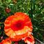 klap rozen (1)