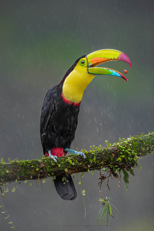 Jongleren in de regen - Deze toucan jongleerde met het besje in zijn mond.