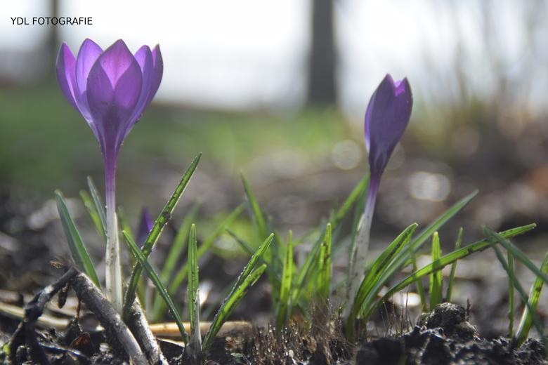 DSC_0699 - Prachtige krokussen in de lente!