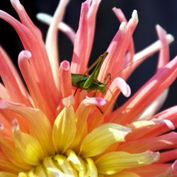 Mannetje struiksprinkhaan op dahlia bloem
