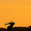 silhouette geweidrager tijdens zonsondergang