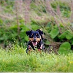 Jack russel in hoog gras