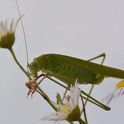 Sikkelsprinkhaan (Phaeroptera Falcata)