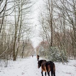 de wilde exmoors van nederland