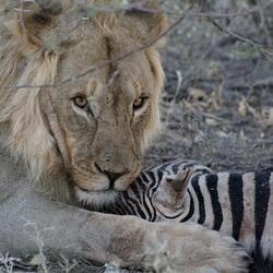 Betekenisvolle blik na zebra-kill