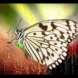 vlinder in de regen.................