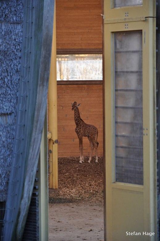 Giraffe in Blijdorp