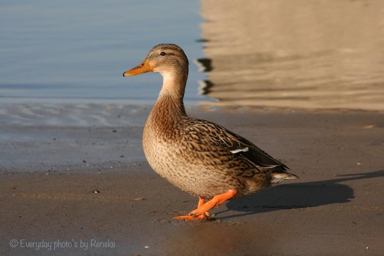 In je eendje in de zon aan de Waal - Deze nieuwsgierige eend kwam naar me toe op het strandje aan de Waal bij Nijmegen. Kan zelf ontzettend genieten v