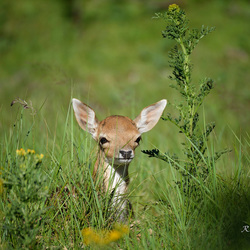 Bambi speelt verstoppertje!
