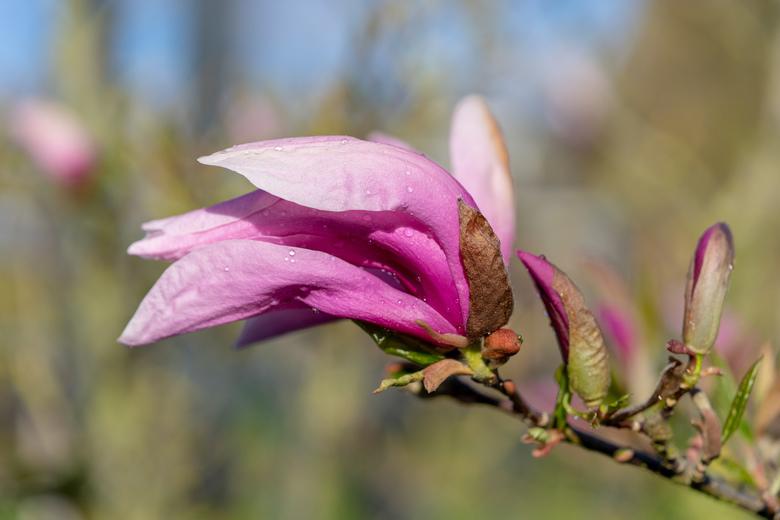 Puber Magnolia - Ontvouwende Magnolia
