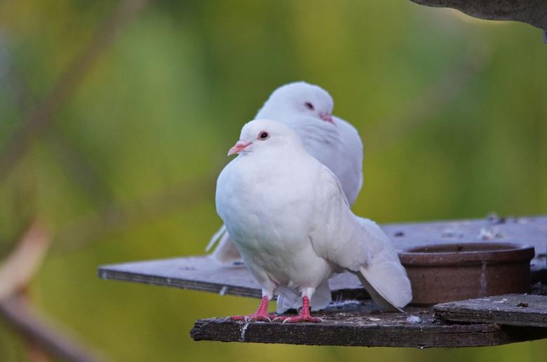 duiven - Twee duiven