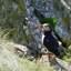 Papegaaiduiker op Lunga
