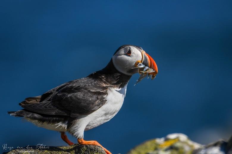 Papegaaiduiker - Op een zeer winderige dag in Schotland. Wilde zo graag een puffin met vis op de foto. Heb er honderden gemaakt maar dit was volgens m