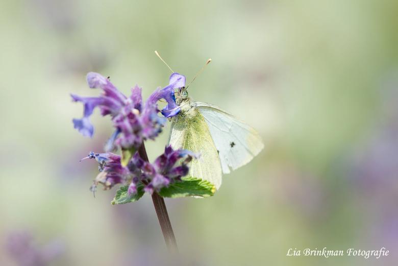 little shy - Little shy - Deze vlinder zat een beetje verstopt achter een bloempje en keek me een beetje verlegen aan. <br /> <br />