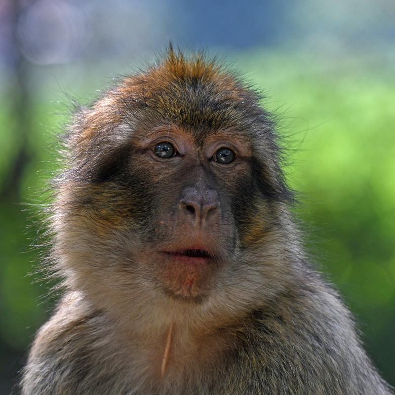 Ol' Blue Eyes - Berberapen zijn de enige in Europa in het wild levende apensoort. Op de Rots van Gibraltar leven ongeveer 200 berbers in het wild. In