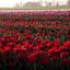 tulpen -4-
