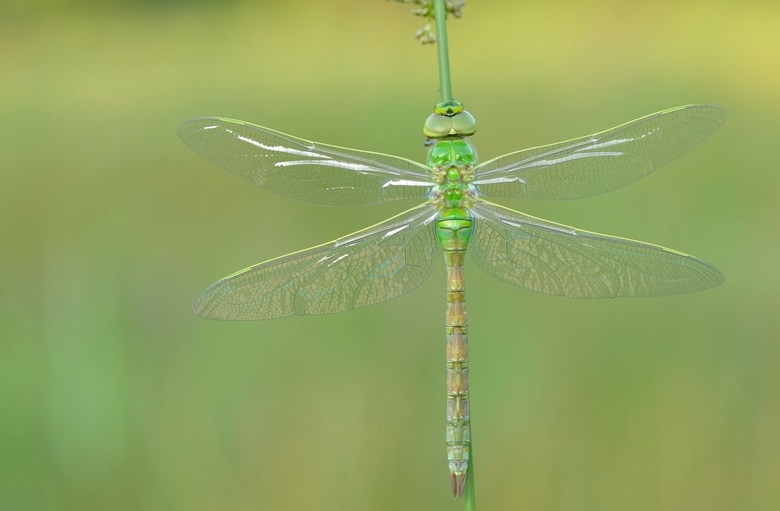 green - vrouwtje kiezerlibel