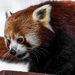 Red Panda spotted in his activity
