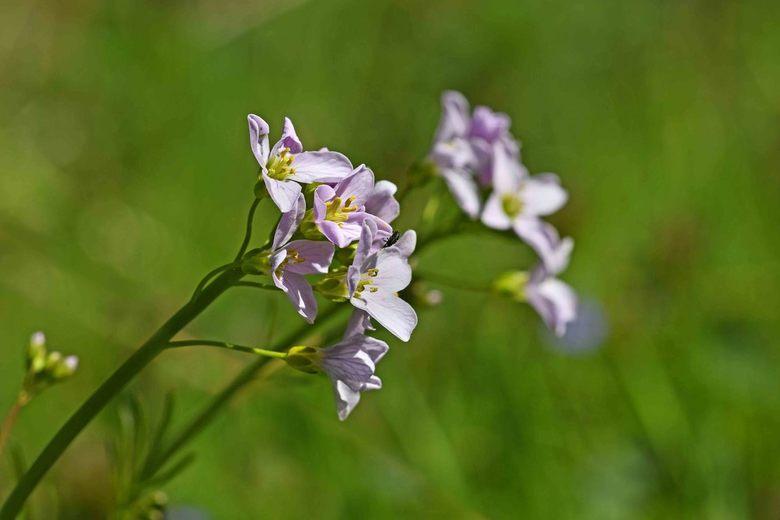 fijne pinksterdagen - Aan de pinksterbloem wordt geneeskrachtige werking toegeschreven bij de behandeling van voorjaarsmoeheid. Door het hoge vitamine