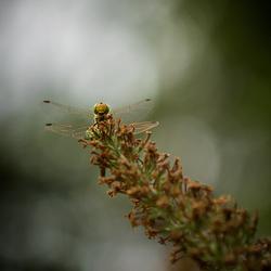 Hoog in de vlinderstruik ...