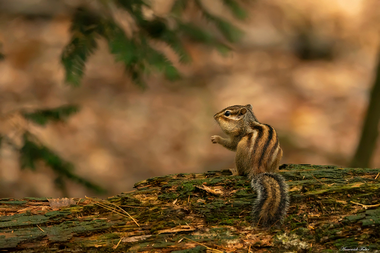 I love nuts - Op een plek iets verder in het bos renden een aantal kleine, snelle en gestreepte grondeekhoorns heen en weer om nootjes en bladeren naa