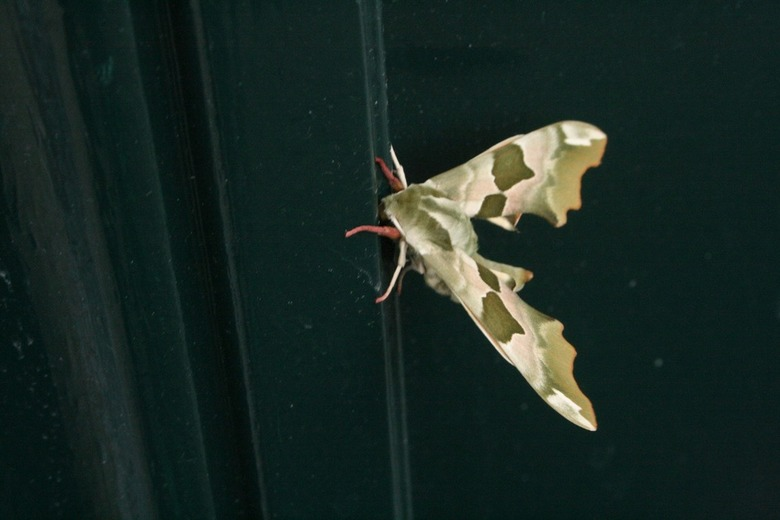 mooie vlinder op de voordeur - Deze vlinder zat twee dagen tegen onze voordeur geplakt toen toch maar even de camera gepakt