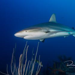 Haai over het rif