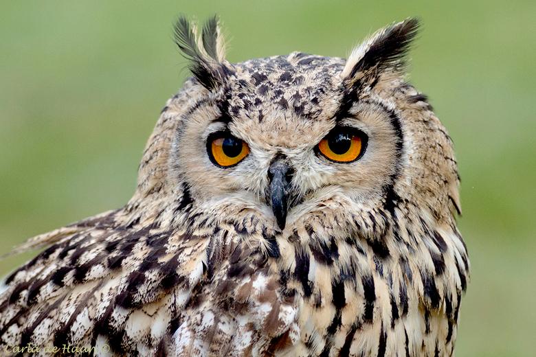 Oehoe - Statig en wijs