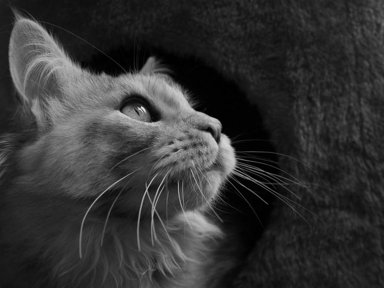 Hopes &amp; dreams - Onze Maine Coon kitten Narnia, 5 maanden oud.<br /> (klik op de foto voor beter formaat)<br /> <br /> ©Mona 2009