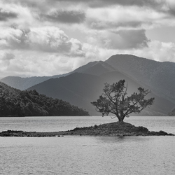 Lonely Tree - Pelorus Sound