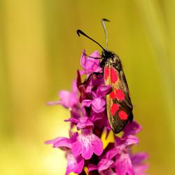 st jansvlinder op orchidee