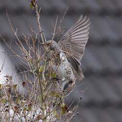 Kramsvogel in de tuin