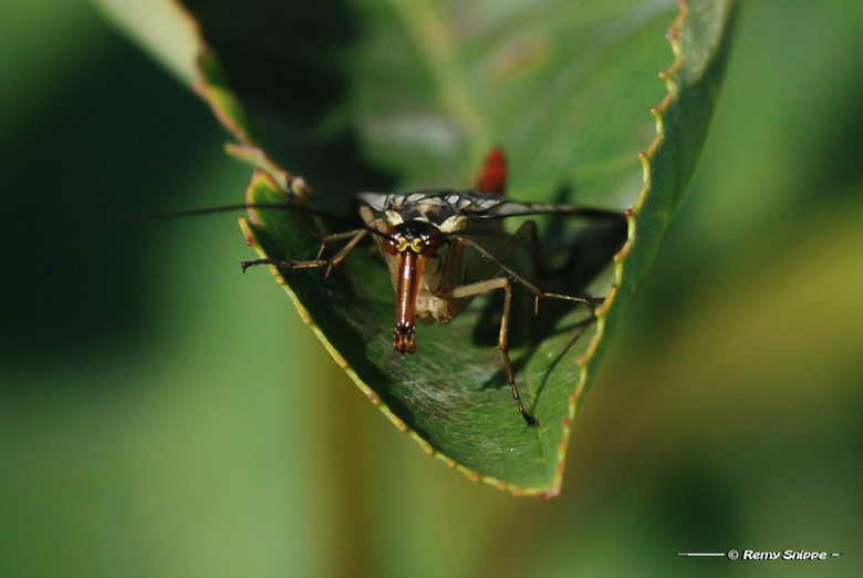 Schorpioenvlieg - Schorpioenvlieg in het Bargerveen gefotografeerd. Ze hebben een bijzonder voorkomen en doen wel komisch aan. Ik heb achteraf nog wel