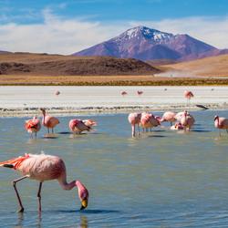 Flamingo's bij Laguna Hedionda
