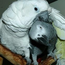 Mijn Witkuifkaketoe Maxi verzorgt veertjes van mijn Grijze Roodstaart Alex.