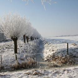 knotwilgen in de winter