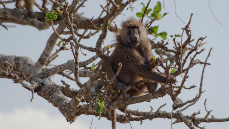 Baviaan in de boom - Baviaan in een boom