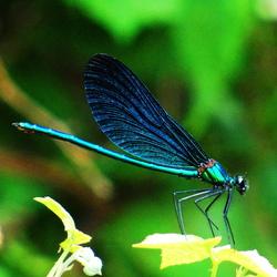 Blauwe Libelle!