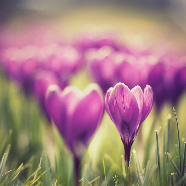 paarse lente - krokusjes