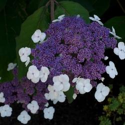 Hydrangea aspera 'Macrophylla' - Fluweel Hortensia