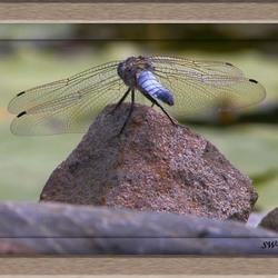 Libelle aan vijver