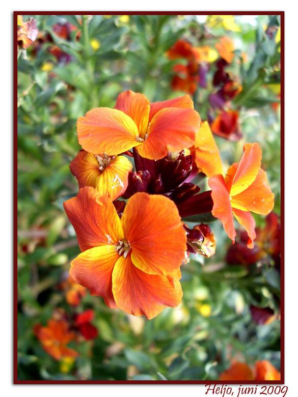 muurbloem(pje?) - De muurbloem (Erysimum cheiri) is een vaste plant uit de kruisbloemenfamilie (Brassicaceae). Het is een soort die niet alleen in het