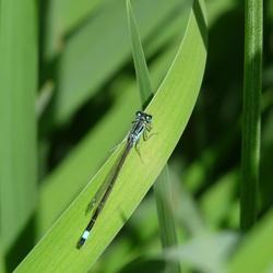 Libelle op het gras