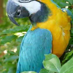 Papegaaienwandeling 25 mei 2017: Blauw-Gele Ara Pino poseert in boom.