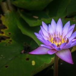 Lotus flower, Sri Lanka
