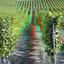 Druivenstokken bij Beilstein 3D