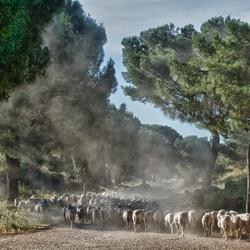Via Appia Sheep