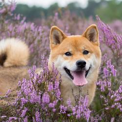Hond in de heide