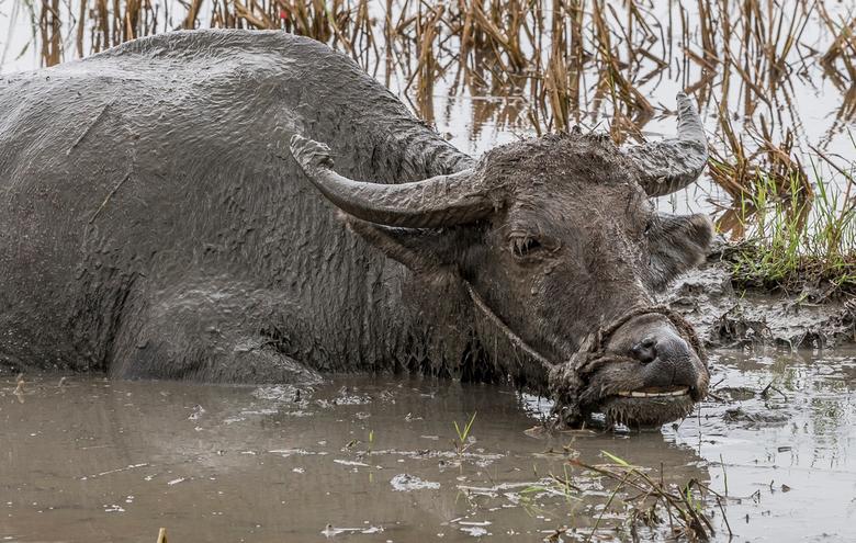 vietnam1516 - Buffel neemt modderbad. Hoi An, Vietnam.